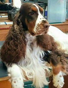 Paws dripping over the edge. Such gorgeous dogs. Springer Spaniel Puppies, English Springer Spaniel, Pet Dogs, Dogs And Puppies, Doggies, Cutest Animals On Earth, Field Spaniel, Best Dog Breeds, Happy Dogs