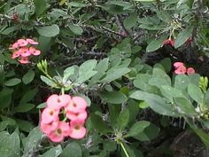 Crown of Thorns, from eco gro feb '15, likes sun, mist leaves, also can be propagated pretty easily. Indoor and outdoor (NO frost)