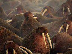 i am the walrus.