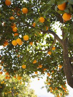 orange trees - we also had lemon and grapefruit trees in CA.