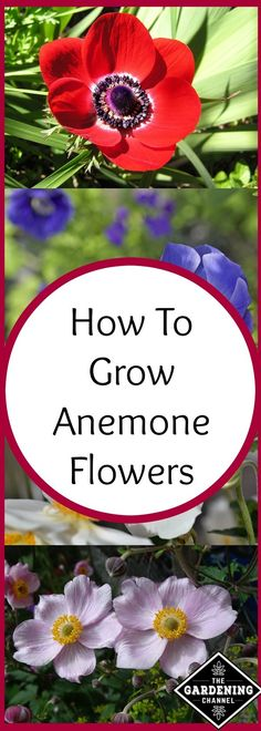 Growing anemone flowers, these garden staples are easy to grow and low maintenance. Learn how to plant and care for anemones.