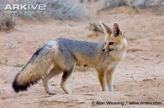 Cape Fox | Cape fox adult standing by burrow entrance