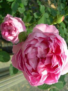 'The Ingenious Mr.Fairchild' | Shrub. English Rose Collection. Bred by David C. H. Austin (United Kingdom, 2004)