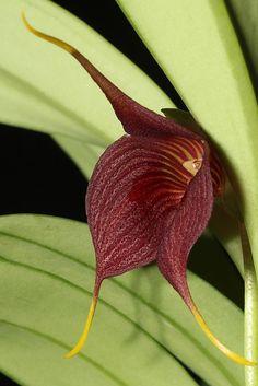Orchid: Masdevallia hercules - Flickr - Photo Sharing!