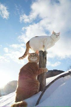 The first cats to reach mount Everest together and we never talk about it I Love Cats, Crazy Cats, Cool Cats, Animal Gato, Mundo Animal, Animals And Pets, Funny Animals, Cute Animals, Beautiful Cats