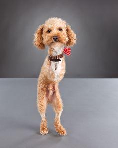 Meet Ramen Noodle the Two-Legged Poodle