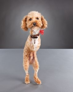 Ramen Noodle, an armless poodle who, despite having hindered mobility, is still a very happy baby :)