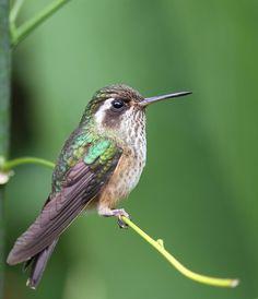 Speckled Hummingbird - Peru, 2010