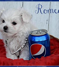 Available Baby Maltese Puppies For Adoption, Cheap Maltese Puppies Maltese Dog For Sale, Teacup Maltese For Sale, Mini Maltese, Baby Maltese, Yorkie Puppy For Sale, Poodle Puppies For Sale, Teacup Puppies For Sale, French Bulldog Puppies, Maltese Dogs