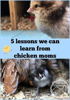 5 Lessons We Can Learn from Chicken Moms - The Cape Coop Best Egg Laying Chickens, Raising Backyard Chickens, Backyard Poultry, Keeping Chickens, Backyard Farming, Urban Chickens, Pet Chickens, Chicken Breeds, Chicken Coops