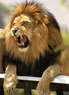 Lion Roaring And Showing His Teeth Stock Image - Image of male, sharp: 17223641 - Lion Roaring And Showing His Teeth Stock Image – Image of male, sharp: 17223641 Lion roaring and showing his teeth. Agitated male lion angrily roars as he lets , Animals Beautiful, Cute Animals, Wild Animals, Fierce Animals, Baby Animals, Roaring Lion Tattoo, Lions Photos, Images Of Lions, Lion And Lioness