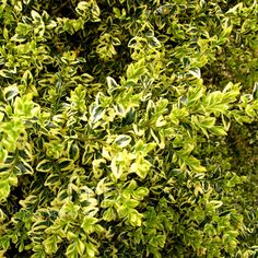 Buxus sempervirens - 'Elegantissima': Information, Pictures & Cultivation Tips