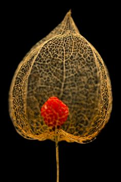 A rotten Physalis fruit