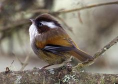 White-browed Fulvetta, Indian Subcontinent and Southeast Asia