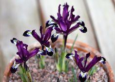Iris reticulata 'Spot On', February The Watch House