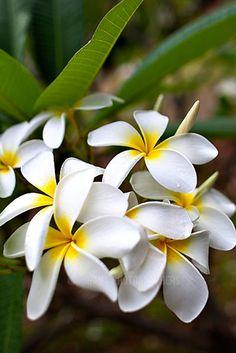 Hawaii Plumeria Visit Hawaii, Aloha Hawaii, Hawaii Travel, Island Food, Big Island, Hawaii Location, Plumeria Tree, Hawaii Flowers, Hawaii Hotels