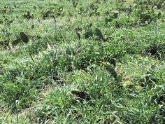 spring nopal growth