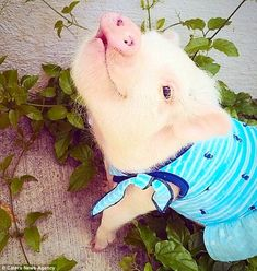 Ready for a slash: The micro-pig also featured in this fetching swimming costume on her I...