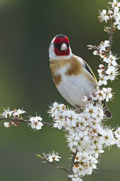 Goldfinch on Blackthorn by Chris Robbins on 500px