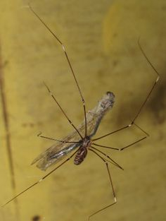 Daddy-long-legs Spider - Langbeenspinnekoppe