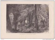 Image de gravure - Australie,  fougères arborescentes - dessin de Barclay (verso : route des gommiers Blackspur)
