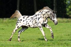 Appaloosa Stallion: Storm by Karolina Wengerek Equine Photography, Poland