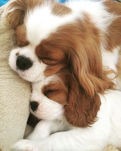 All the things I admire about the Playfull Cavalier King Charles Spaniel Pups King Charles Puppy, Cavalier King Charles Dog, Cavalier King Spaniel, Cute Baby Dogs, Cute Dogs And Puppies, Doggies, Funny Puppies, Puppies Puppies, Adorable Puppies
