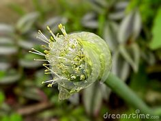 A close-up view of an opening Spring Onion flower.