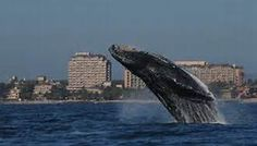 Humpback whales, one of the numerous reasons to be in Puerto Vallarta.