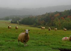 Sheep pasture by jo(e), via Flickr