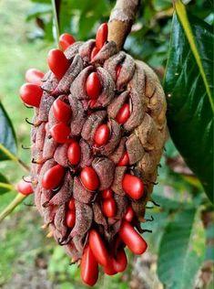 Unusual Plants, Rare Plants, Exotic Plants, Exotic Flowers, Weird Fruit, Strange Fruit, Fruit Plants, Fruit Garden, Arrangements Ikebana