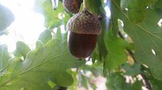 Agarn drik Mit nyeste forsøg med mad fra naturen har været agern. Eges frugt, de her smukke som egerne spiser.  Før i tiden var det mennske føde eller til husdyrene. Hvert fald svin. Problemet ved aganet er at der er rigtig meget tanninsyre i det som gør dem bittre og man kan få mavepine af . Men det