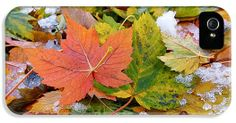 Seasonal Mix iPhone 5 Case / iPhone 5 Cover by Rona Black ~ a close-up photograph of snow melting on beautiful, multicolored Sycamore leaves.     www.ronablack.com