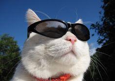 Yo no soy de gatos pero los gatos con lentes se ven muy cool