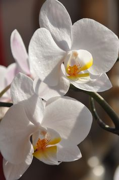 Orchid by Victoria Day-Wilson. More flowers at www.victoriadaywilson.com. #orchids #white #flowers