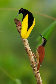 ~Twelve-wired Bird-of-Paradise (Seleucidis melanoleuca) male displaying to a female at his display pole in the swamp rain forest at Nimbokrang, Papau, Indonesia, Island of New Guinea. Photo by Tim Laman.