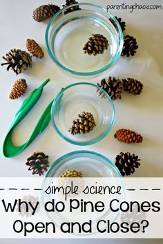 Pine Cone Science Experiment: Why Do Pine Cones Open and Close? :: preschool science experiment :: simple science for homeschool