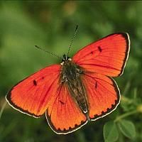Kırmızı kelebek (Red Butterfly)