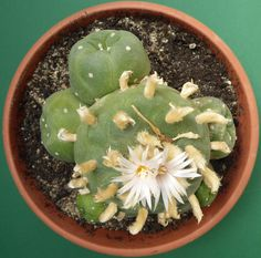 Lophophora echinata var. diffusa, second of this species, sown in 1990, in 2015 in 20 cm pot.