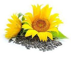 LJEKOVITO BILJE I ZDRAVLJE: Čaj od sjemenki suncokreta pomaže kod slabe cirkulacije. Saznajte koje sve bolesti liječi ovaj čaj na blogu ljekovitobiljezasvebolesti.blogspot.com