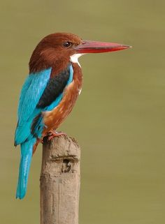 odd proportions....   White Throated Kingfisher