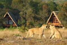 You could even see the cubs playing whilst on their morning walks, across the lake, right from the comfort of your room