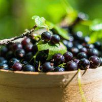 Blackcurrants Benefit the Brain