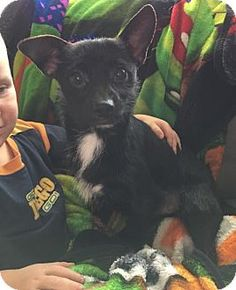 Pictures of Bitty Black a Dachshund Mix for adoption in House Springs, MO who needs a loving home.