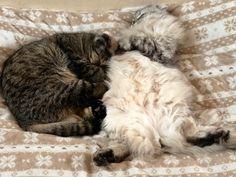 ぬくぬく、暖かいにゃん Lets cuddle~ it's nice and warm❤️ ババLEOはlonghair Foldですが、ママが短毛な為、子供たちは、3匹短毛Scottish Foldでつ! Gifu, Daddy, Lion Sculpture, Statue, Cats, Animals, Gatos, Animales, Animaux