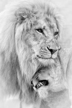 A Little Loving Art Print by Linda D Lester. All prints are professionally printed, packaged, and shipped within 3 - 4 business days. Choose from multiple sizes and hundreds of frame and mat options. Animals And Pets, Cute Animals, Lion Couple, Lion Sketch, Lion Photography, Female Lion, Lion Drawing, Lion Love, Lion Wallpaper