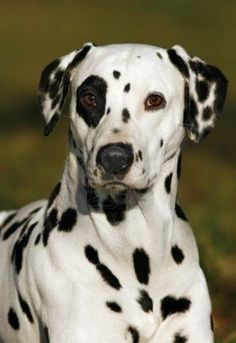 Dalmatian. ..love the black eye