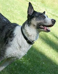 Texas Heeler (Australian Cattle Dog X Australian Shephed)