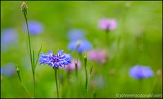 That is the color of blue I want and these are the highlight of spring for me I love these flowers so pretty and wild