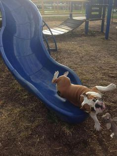 Funny Pictures Of The Day - 93 Pics Funny Dog Photos, Funny Pictures For Kids, Funny Dog Videos, Funny Kids, Dog Pictures, Funny Images, Mastiff, American Funny Videos, Justin Bieber Jokes